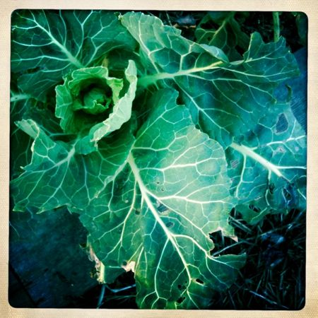 Collards, the earliest greens of spring